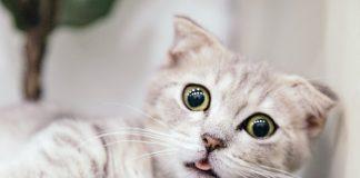 kucing cacingan