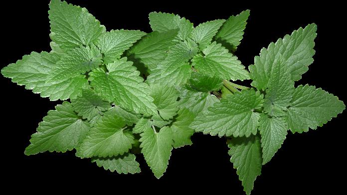 Manfaat daun mint untuk kesehatan