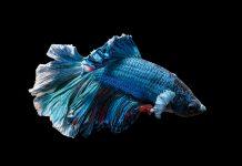 tips merwat ikan cupang