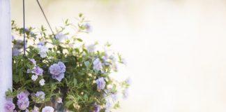 jenis tanaman hias gantung