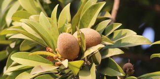 manfaat buah sawo