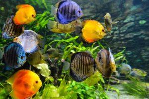 Ikan Hias Untuk Akuarium